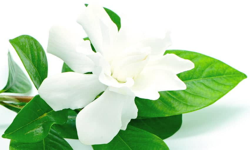 The Gardenia Suite - gardenia white flower